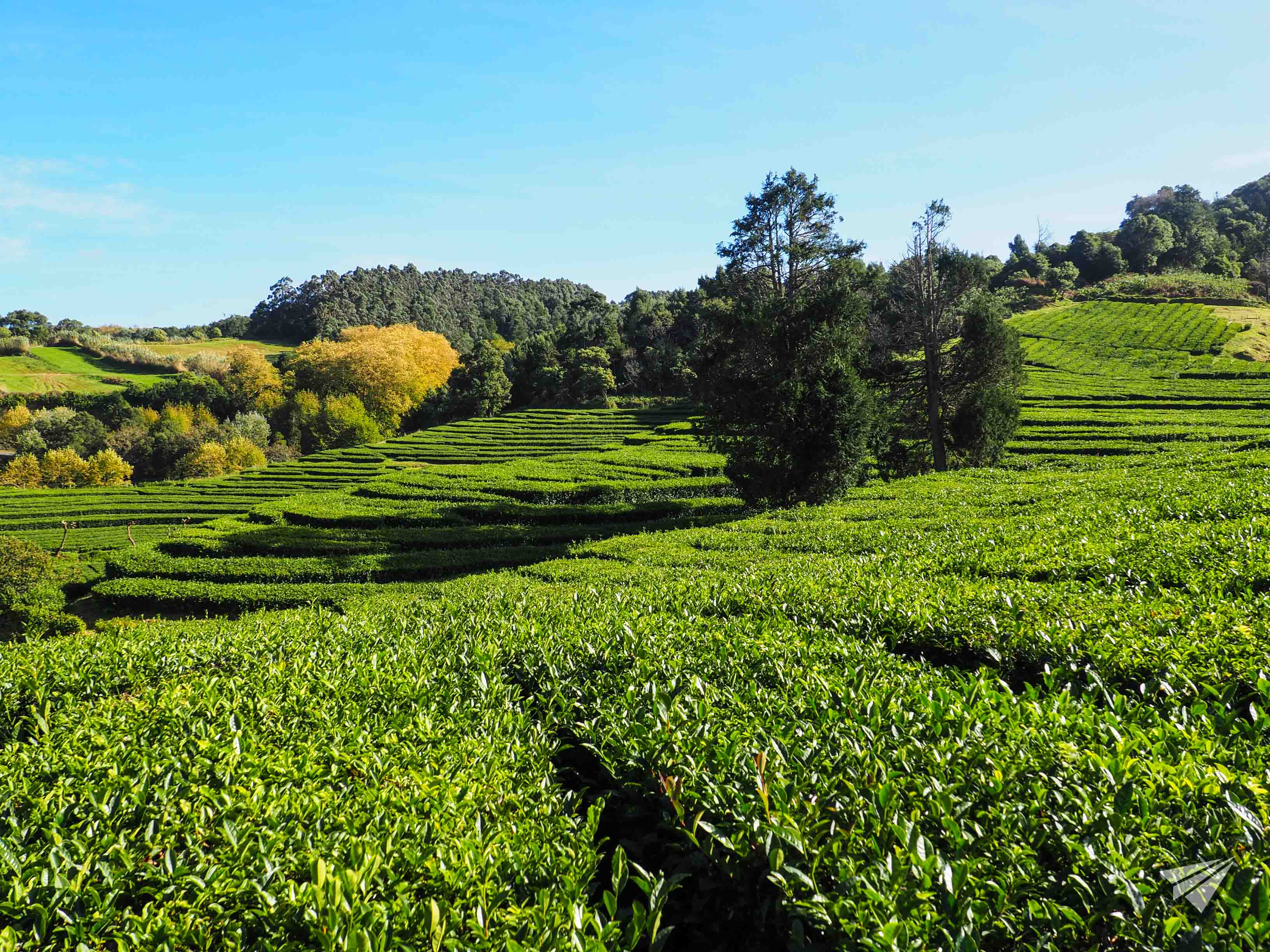 Gorreana Tea Factory valley